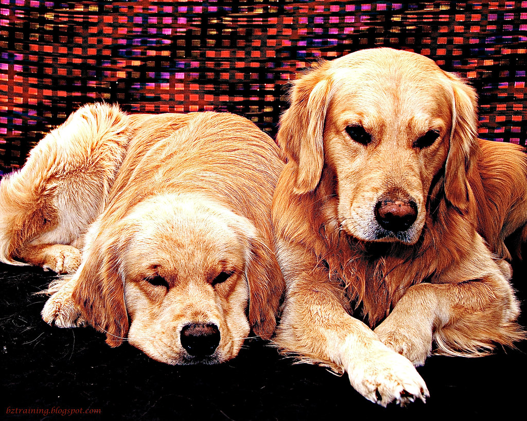 Goldens in Red