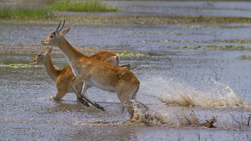 Red Lechwe can escape rapidly across swamps