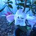 Small photo of Rhododendron Seta