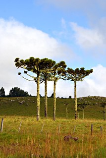 As lindas Araucárias do Rio Grande do Sul - Brasil / The beautiful Araucaria of Rio Grande do Sul - Brazil /