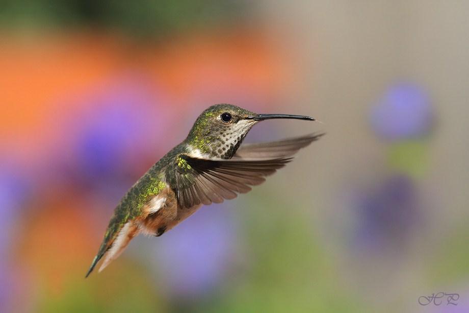 Allen's Hummingbird 031312-3