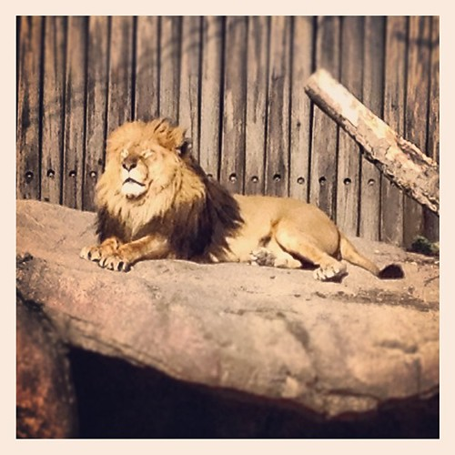 The lion has the same expression on his face as my dag gets when sunbathing.. @clemetzoo #sunshine #zoo #happyincle
