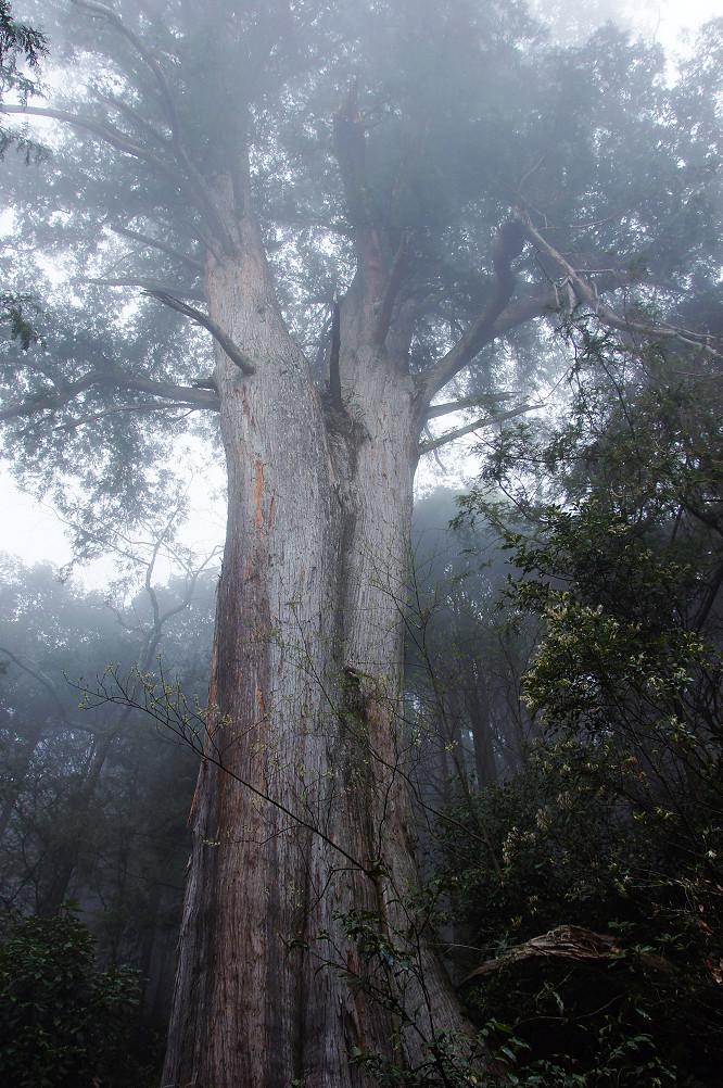 觀霧巨木步道-074