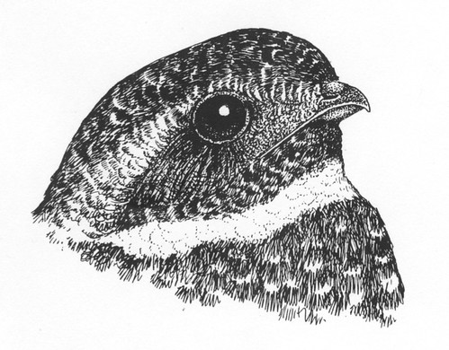 Fred the Common Nighthawk