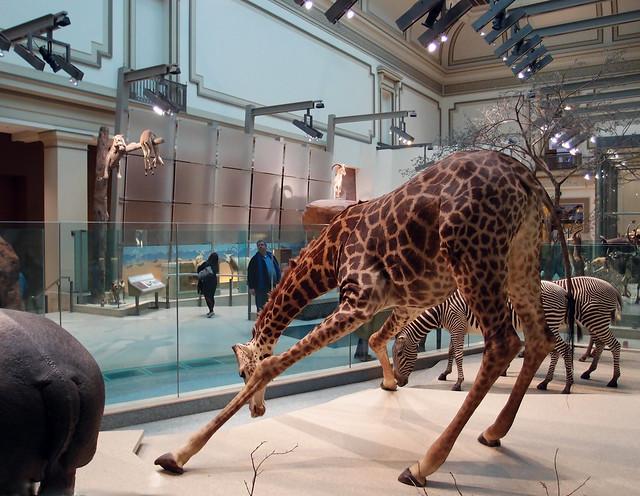 Foyer Museum Washington Dc : Hall of mammals national museum natural history