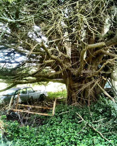 Old Humber. Old tree.