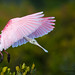 Roseate-Spoonbill-coming-in-to-Land by Judylynn M.