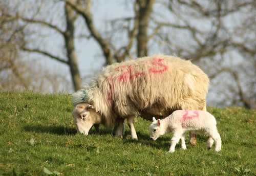 Ewe and lamb by Helen in Wales