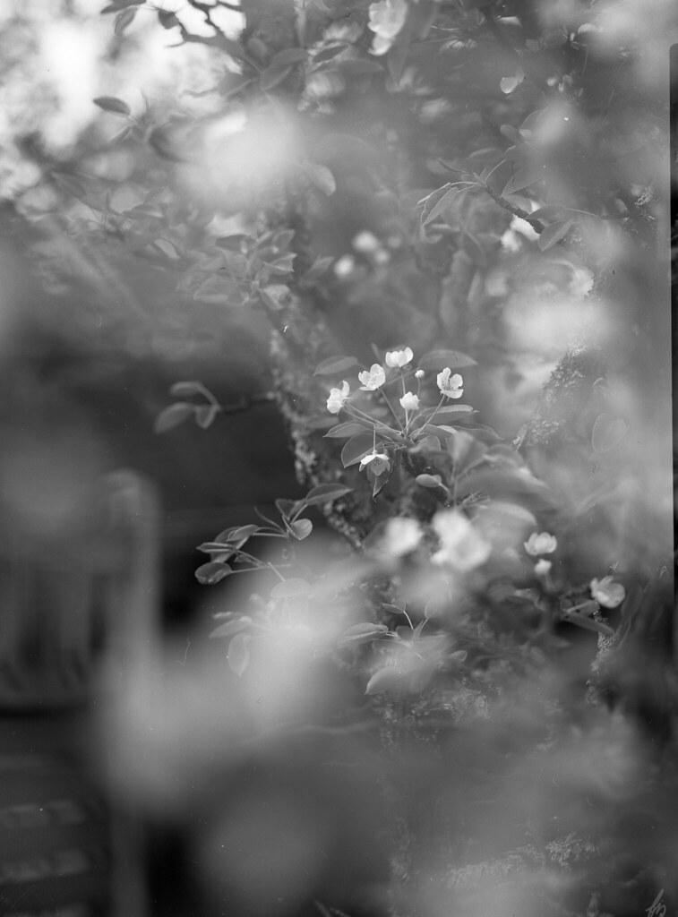 9x12cm film, äppelträd