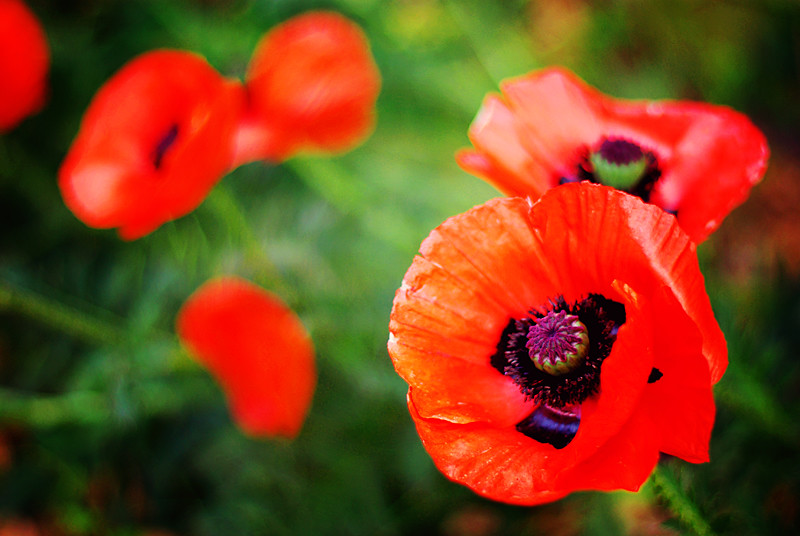 poppies_web