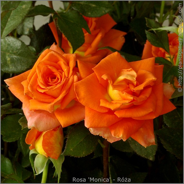 Rosa 'Monica' - Róża 'Monica'