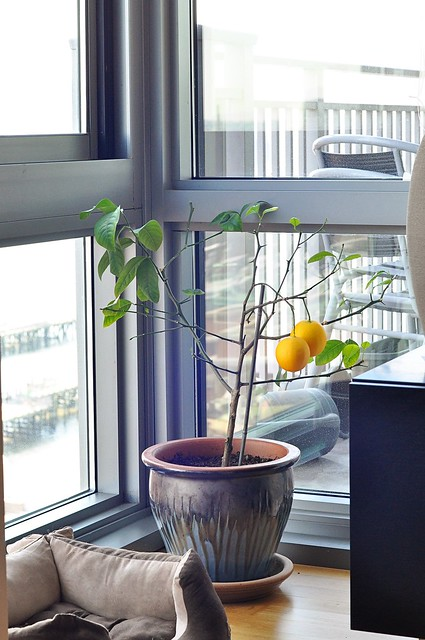 George the lemon tree