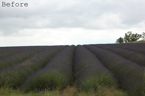 Lavendar Fields, England