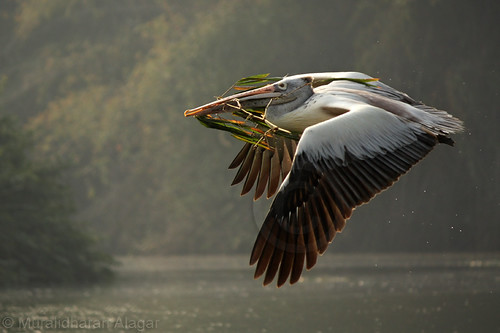 Pelican with feed