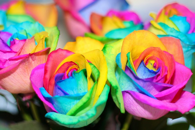 Rainbow colored roses some very pretty rainbow colored for Rainbow colored rose