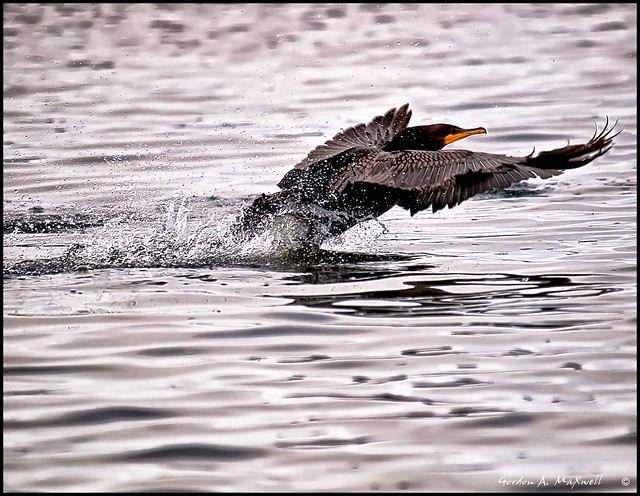 Cormorant on takeoff 04A