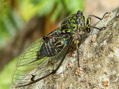 Chorus Cicada or Kihikihi