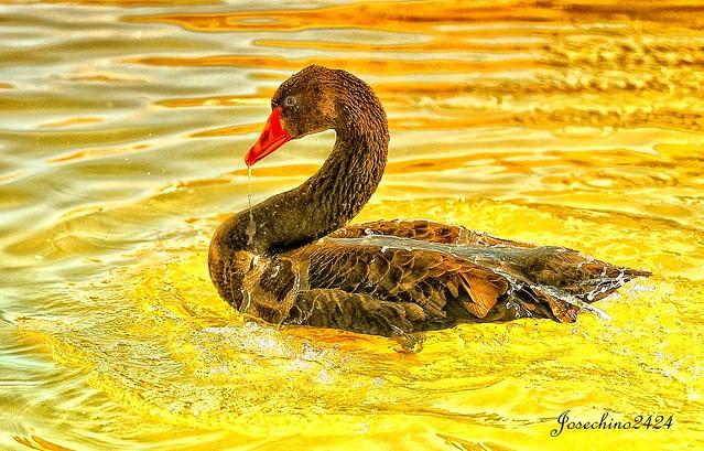 Cisne dorado.
