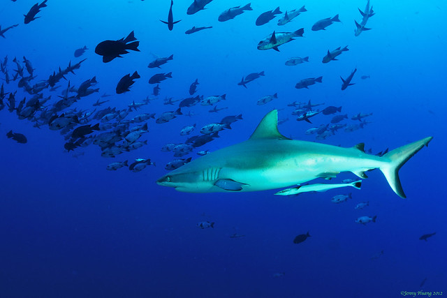 enjoy diving with sharks!