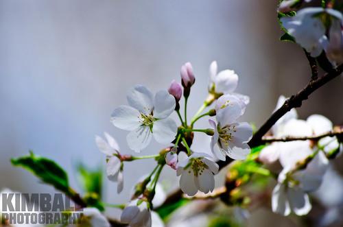 Pear Flower 3