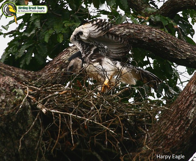 Harpy Eagle flying | Flickr - Photo Sharing!