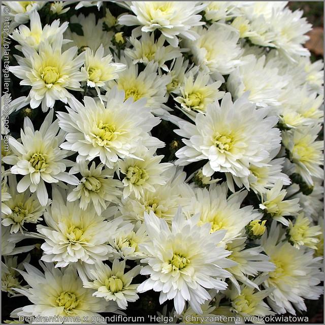 Dendranthema x grandiflorum 'Helga' - Chryzantema wielkokwiatowa kwiaty