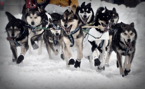 Sled Dogs Rule During The Iditarod 2012!