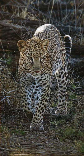 "'Elusive Leopard' oil on board 24"" x 13¼"