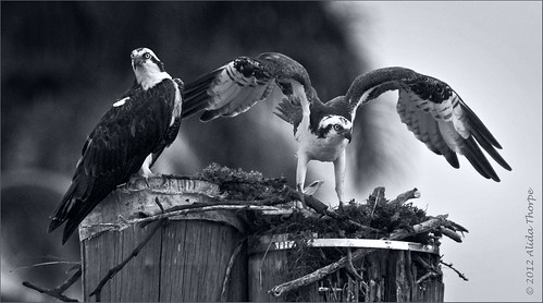 osprey pair bw by Alida's Photos