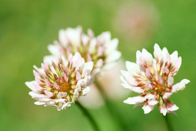 Trifolium repens f. roseum モモイロシロツメクサ