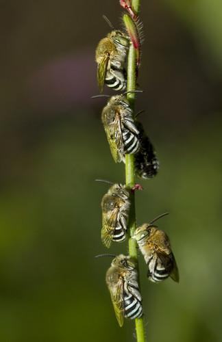 [フリー画像素材] 動物 2, 昆虫, 蜂・ハチ, アオスジコシブトハナバチ ID:201203201600