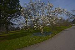 Magnolia Blooms at Kew Gardens