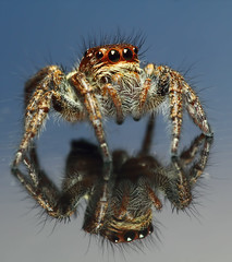 Jumping Spider & Its Reflection