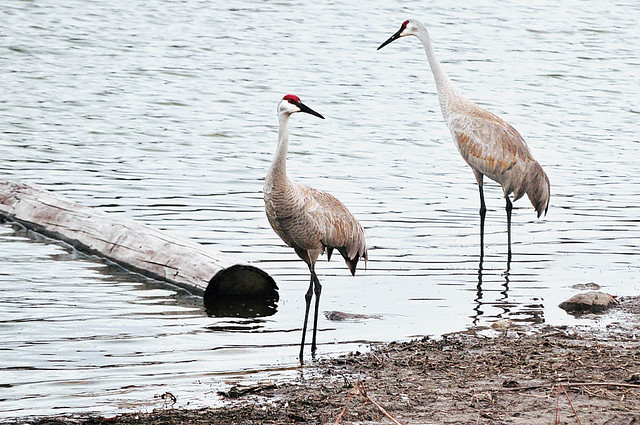 The Sandhill Cranes Are Back