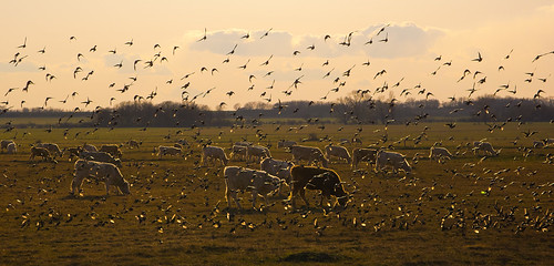 Birds and cows