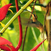 Long-billed Hermit por a320rainman