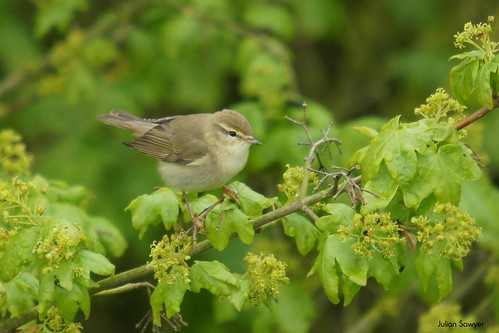 The Willow Warbler by julian sawyer