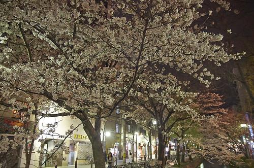 【写真】桜 : 木屋町通