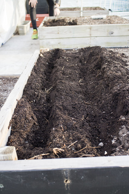 Sugar Snap Pea Planting 2014_4