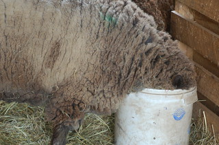 Sheep in Bucket