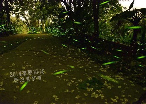 2014油桐花_005.jpg