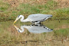 stonefactionbirding2014.blogspot.co.uk/2014/04/easter-exc...  Grey Heron catches a small fish at Morton Lochs....
