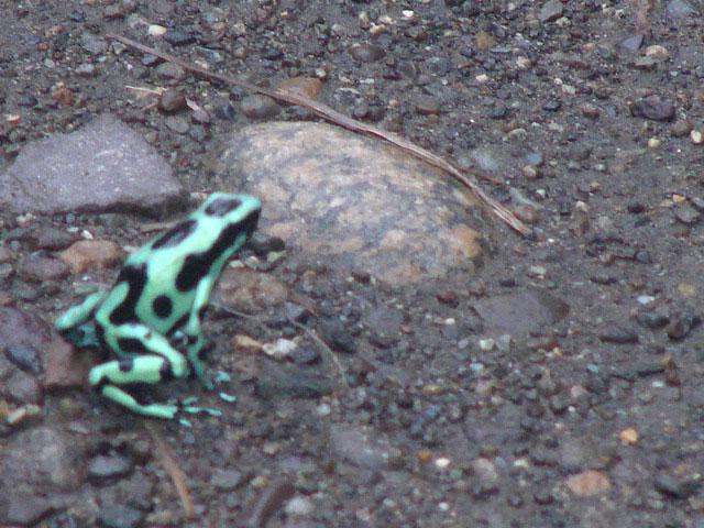 poison-dart-frog-2