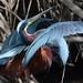 agami heron displaying by biguglystuff
