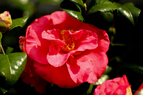 Camellia ~ Kramer's Supreme Turkey Red
