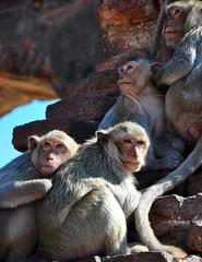 Lop Buri Macaques