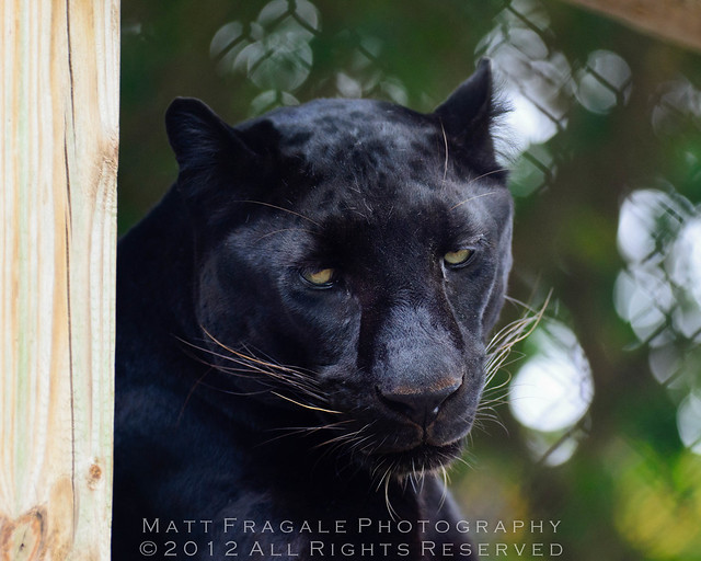 Asian Black Panther 58