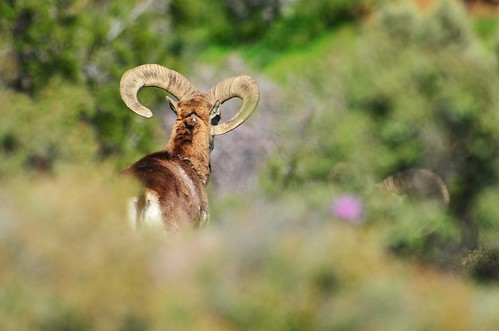 Cypriot  male mouflon