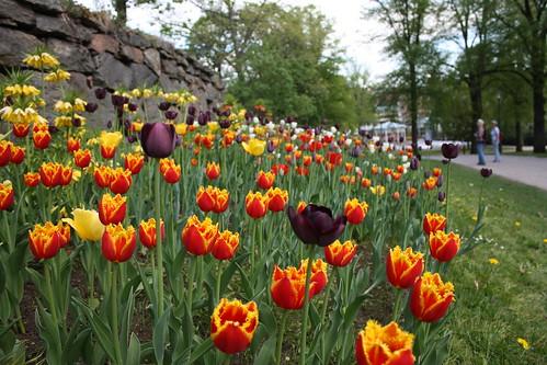 quintaflower tulpaner borås vårblommor stadsparkenborås vårminnen