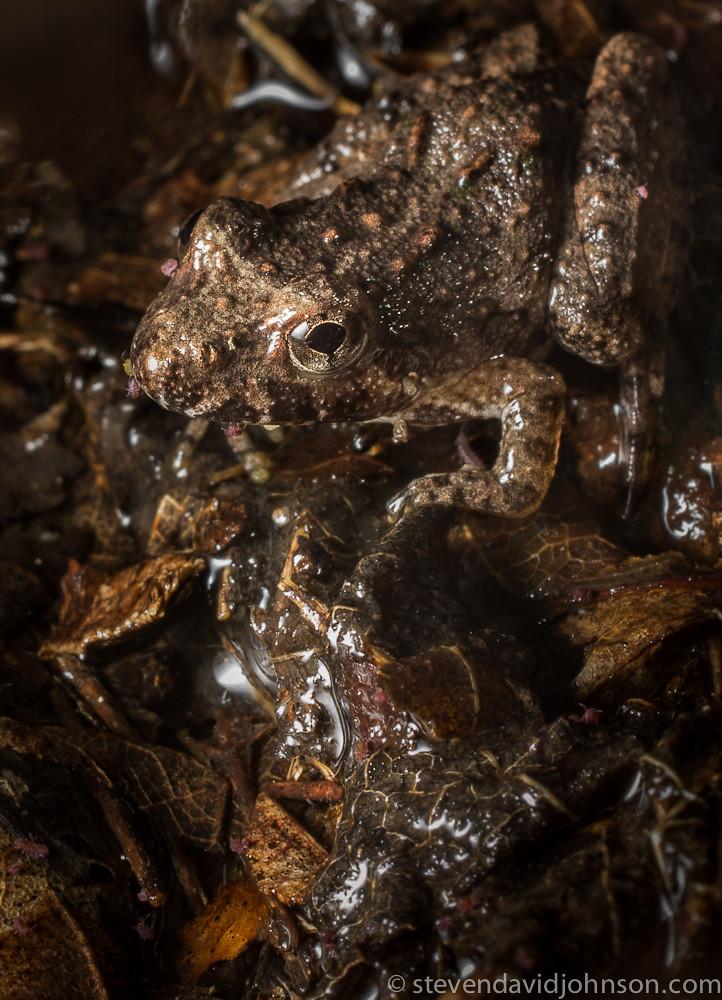 Cricket frog, Maple Flat Ponds, Virginia